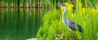 blue heron standing by wetland